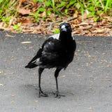 仔细的澳大利亚鹊保留一只注意眼睛 免版税库存图片