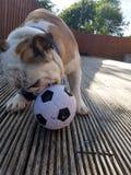 仔细考虑橄榄球的英国牛头犬 免版税库存图片