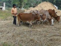 他们的牛打谷用村民麦子 库存照片