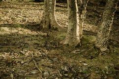 他们的由日落光的阴影围拢的树  免版税库存图片