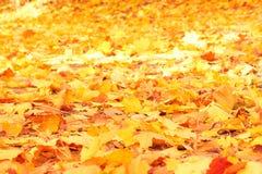 他们的黄色叶子秋天背景  免版税库存图片
