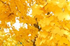 他们的黄色叶子秋天背景  库存照片