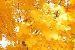 他们的黄色叶子秋天背景  图库摄影