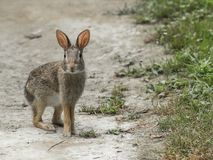 他停下来检查作为他的一只东部棉尾兔横渡道路 图库摄影