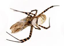 他的蜘蛛受害者 免版税库存图片