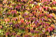 他groing墙壁的常春藤的秋季颜色在阿莱树木园在米德兰平原在英国 免版税库存照片