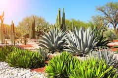 仙人掌、龙舌兰和多汁植物,图拉de亚伦得,墨西哥庭院  免版税库存照片