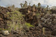 仙人掌仙人掌森林在加拉帕戈斯群岛 图库摄影