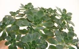 仙人掌和多汁植物 免版税库存照片