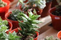 仙人掌和多汁植物 图库摄影