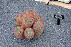 仙人掌品种在仙人掌庭院里在加那利群岛,西班牙 免版税库存图片