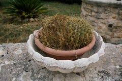 仙人掌在意大利Trullis市alberobello apulia的花圃里 免版税库存图片