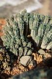 仙人掌在沙漠在摩洛哥 免版税库存照片