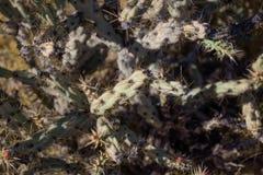 仙人掌在沙漠 库存照片