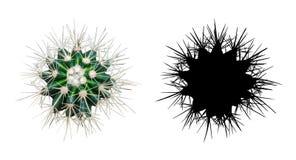 仙人掌在白色背景的Echinocactus grusonii植物  库存照片