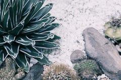 仙人掌在苍白树荫图象的庭院里 沙漠植物照片 库存图片