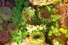 仙人掌多汁庭院沙漠植物 生长在石头的龙舌兰多汁植物 库存照片