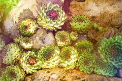 仙人掌多汁庭院沙漠植物 生长在石头的龙舌兰多汁植物 图库摄影