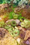 仙人掌多汁庭院沙漠植物 生长在石头的龙舌兰多汁植物 库存图片