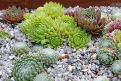仙人掌庭院 库存照片