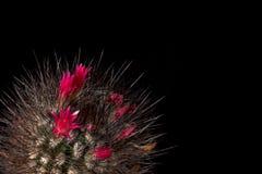 仙人掌开花在黑背景的五颜六色的红色花 华美开花 仙人掌与长的黑针的巧克力颜色 免版税库存照片