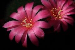 仙人掌开花粉红色 免版税库存图片