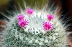 仙人掌开花粉红色 库存图片