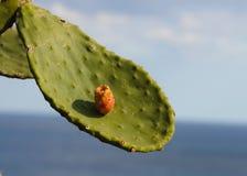仙人掌果子多刺叶子的梨 免版税库存图片