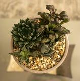 仙人掌植物 图库摄影