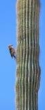 仙人掌沙漠啄木鸟 免版税库存照片
