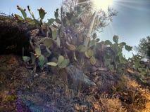 仙人掌沙漠费埃特文图拉岛西班牙 免版税库存图片