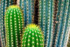 仙人掌热带仙人掌的绿色 图库摄影