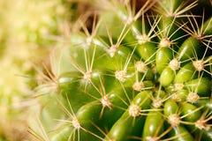 仙人掌特写镜头绿色grusonii被射击的生动 库存图片
