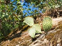 仙人掌的特写镜头图象在一个巨大的岩石的 免版税库存图片