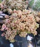 仙人掌种类 仙人掌上升了岩石 多汁 Sulcorebutia Haworthia 免版税库存图片
