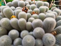仙人掌种类 仙人掌上升了岩石 多汁 Sulcorebutia Haworthia Astrophytum myriostigma 库存图片