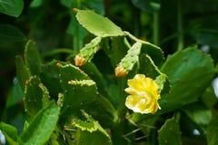 仙人掌花和芽在下午太阳 库存图片