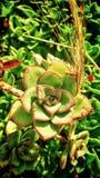 仙人掌花在绿色庭院里 库存图片
