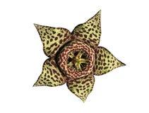 仙人掌花隔离多汁植物 库存图片