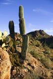 仙人掌被确定的生长岩石 免版税库存图片
