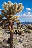 仙人掌cholla跳国家公园结构树的约书亚 免版税库存图片