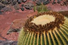 仙人掌Echinocactus grusonii在阳光下 免版税库存图片