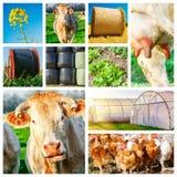 代表几个牲口和农田的拼贴画 免版税图库摄影