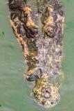 令人恐惧的鳄鱼从水涌现攻击牺牲者 免版税库存图片