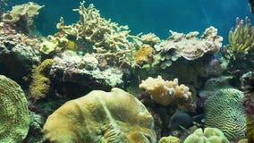 令人惊讶的五颜六色的珊瑚礁狂放的生活 影视素材