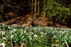 令人惊讶的开花的snowdrops在腐烂的树干附近的一个森林里 库存图片