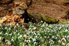 令人惊讶的开花的snowdrops在腐烂的树干附近的一个森林里 图库摄影
