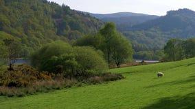 令人惊讶的绿色爱尔兰草原在威克洛山脉 股票录像