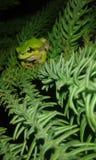 令人惊讶的青蛙 免版税库存图片