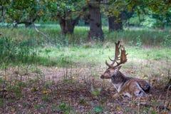 令人惊讶的鹿-雄鹿在森林里 免版税库存照片